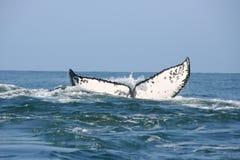 ωκεάνια φάλαινα ουρών Στοκ Εικόνες