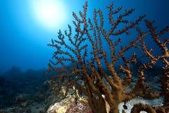 ωκεάνιος ήλιος ανεμιστήρων κοραλλιών Στοκ Εικόνες