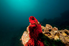 ωκεάνιος ήλιος αστεριών θάλασσας κοραλλιών Στοκ Εικόνες