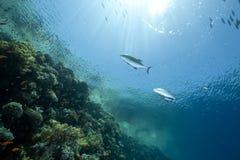 ωκεάνιος ήλιος ψαριών Στοκ Φωτογραφία