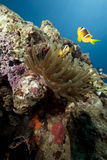 ωκεάνιος ήλιος anemone Στοκ εικόνες με δικαίωμα ελεύθερης χρήσης