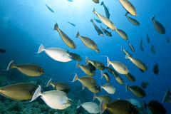 ωκεάνιος ήλιος unicornfish Στοκ φωτογραφία με δικαίωμα ελεύθερης χρήσης