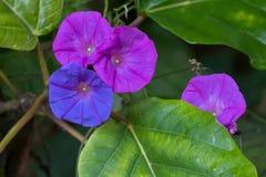 Ωκεάνιο μπλε λουλούδι δόξας πρωινού στο μπλε πορφυρό χρώμα, γνωστό ως Κ Στοκ Εικόνες