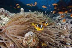 ωκεανός κοραλλιών anemone Στοκ εικόνες με δικαίωμα ελεύθερης χρήσης