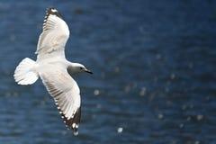 ωκεανός πέρα από seagull την ανύψωσ& Στοκ Φωτογραφίες