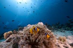 ωκεανός φυσαλίδων anemone anemonefish Στοκ Εικόνες