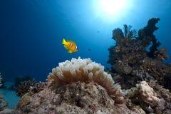 ωκεανός φυσαλίδων anemone anemonefish Στοκ Φωτογραφία