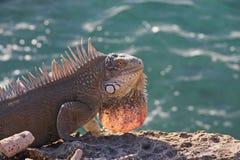 ωκεανός iguana Στοκ εικόνες με δικαίωμα ελεύθερης χρήσης
