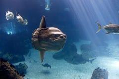 Ωκεανός sunfish (mola Mola) Στοκ Εικόνα