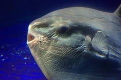Ωκεανός sunfish (mola Mola) Στοκ φωτογραφία με δικαίωμα ελεύθερης χρήσης