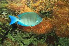 Ωκεανός surgeonfish Στοκ φωτογραφία με δικαίωμα ελεύθερης χρήσης