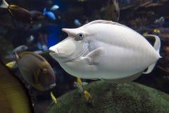 Ωκεανός Unicornfish Naso Humpback brachycentron και ψάρια θάλασσας Στοκ φωτογραφία με δικαίωμα ελεύθερης χρήσης