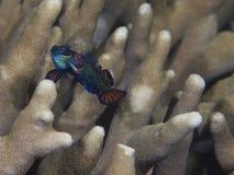 Ωοτοκία mandarinfish στοκ φωτογραφία με δικαίωμα ελεύθερης χρήσης