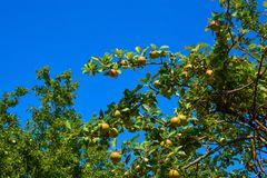ωρίμανση μήλων Στοκ εικόνα με δικαίωμα ελεύθερης χρήσης