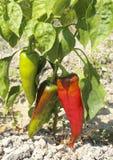 Ωριμάζοντας κόκκινα πιπέρια στοκ εικόνα