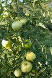 Ωριμάζοντας πράσινες ντομάτες Στοκ Εικόνα