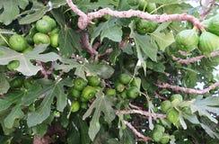 Ωριμάζοντας συστάδες των σύκων στο δέντρο στην άνοιξη στοκ εικόνες με δικαίωμα ελεύθερης χρήσης
