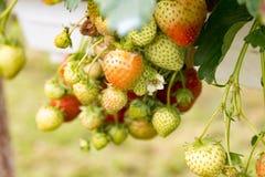 ωριμάζοντας φράουλες Στοκ φωτογραφία με δικαίωμα ελεύθερης χρήσης