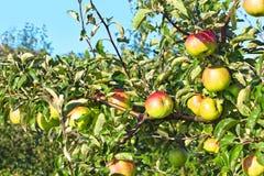 Ωριμάζοντας φρούτα μήλων που κρεμούν στους κλάδους Στοκ εικόνες με δικαίωμα ελεύθερης χρήσης