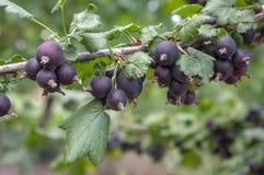 Ωριμασμένα μαύρα φρούτα μούρων jostaberries στον κλάδο, βιο οργανικός υγιής υπαίθριος κήπος προϊόντων πριν από τη συγκομιδή στοκ εικόνα με δικαίωμα ελεύθερης χρήσης