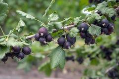 Ωριμασμένα μαύρα φρούτα μούρων jostaberries στον κλάδο, βιο οργανικός υγιής υπαίθριος κήπος προϊόντων πριν από τη συγκομιδή στοκ εικόνες