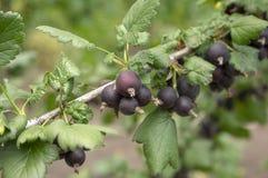 Ωριμασμένα μαύρα φρούτα μούρων jostaberries στον κλάδο, βιο οργανικός υγιής υπαίθριος κήπος προϊόντων πριν από τη συγκομιδή στοκ εικόνες με δικαίωμα ελεύθερης χρήσης