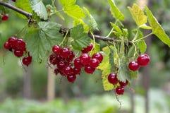 Ωριμασμένα φρούτα μούρων κόκκινων σταφίδων στον κλάδο, βιο οργανικός υγιής υπαίθριος κήπος προϊόντων πριν από τη συγκομιδή στοκ φωτογραφία με δικαίωμα ελεύθερης χρήσης