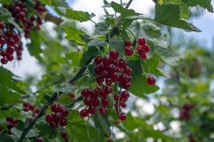 Ωριμασμένα φρούτα μούρων κόκκινων σταφίδων στον κλάδο, βιο οργανικός υγιής υπαίθριος κήπος προϊόντων πριν από τη συγκομιδή στοκ εικόνες με δικαίωμα ελεύθερης χρήσης
