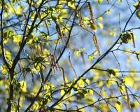 Όλη η βιασύνη δέντρων στο άνθος Αυτό το δέντρο είναι σημύδα στοκ φωτογραφία