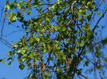 Όλη η βιασύνη δέντρων στο άνθος Αυτό το δέντρο είναι σημύδα στοκ φωτογραφίες