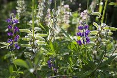 Όμορφα άγρια πορφυρά λουλούδια ανάπτυξης Στοκ Φωτογραφίες