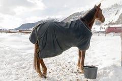 Όμορφα άλογα που παίζουν στη σιταποθήκη στα χιονώδη όρη Ελβετία το χειμώνα Στοκ φωτογραφίες με δικαίωμα ελεύθερης χρήσης