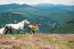 Όμορφα άλογα στο ειδυλλιακό τοπίο βουνών Στοκ Εικόνες