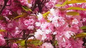 Όμορφα άνθη κερασιών άνοιξη, Λονδίνο, Αγγλία απόθεμα βίντεο
