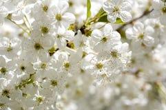 Όμορφα άνθη κερασιών Στοκ φωτογραφίες με δικαίωμα ελεύθερης χρήσης