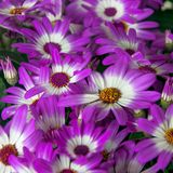 Όμορφα άσπρα και πορφυρά λουλούδια Cineraria στον κήπο στοκ φωτογραφία