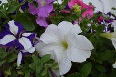 Όμορφα άσπρα και πορφυρά λουλούδια Στοκ εικόνα με δικαίωμα ελεύθερης χρήσης