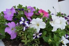Όμορφα άσπρα και πορφυρά λουλούδια Στοκ φωτογραφία με δικαίωμα ελεύθερης χρήσης