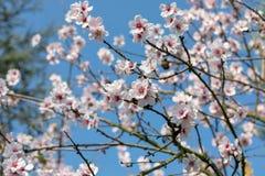 Όμορφα άσπρα και ρόδινα ιαπωνικά δέντρα ανθών κερασιών στην πλήρη άνθιση στον ήλιο με το μπλε ουρανό στοκ εικόνες