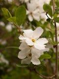 Όμορφα άσπρα κεφάλια λουλουδιών ανθών της Apple που κρεμούν από ένα δέντρο μέσα Στοκ εικόνες με δικαίωμα ελεύθερης χρήσης