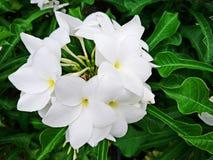 Όμορφα άσπρα λουλούδια με τα πράσινα φύλλα στον κήπο Στοκ Φωτογραφίες