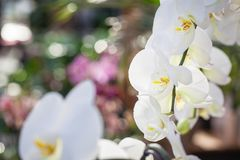 Όμορφα άσπρα λουλούδια ορχιδεών Phalaenopsis με το ζωηρόχρωμο φυσικό υπόβαθρο στοκ φωτογραφία