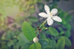 Όμορφα άσπρα λουλούδια στο μουτζουρωμένο πράσινο υπόβαθρο φύλλων Στοκ φωτογραφία με δικαίωμα ελεύθερης χρήσης