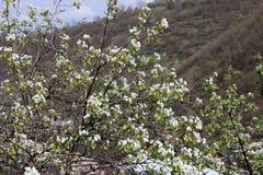 Όμορφα άσπρα λουλούδια του αχλαδιού την άνοιξη ανάμεσα στους λόφους στοκ εικόνα με δικαίωμα ελεύθερης χρήσης