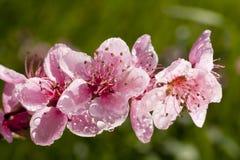 Όμορφα άσπρα λουλούδια άνοιξη που καλύπτονται με τις σταγόνες βροχής Στοκ Φωτογραφίες