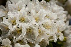 Όμορφα άσπρα λουλούδια άνοιξη που καλύπτονται με τις σταγόνες βροχής Στοκ Εικόνες