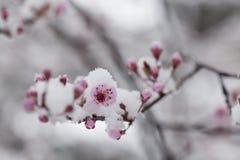 Όμορφα άσπρα λουλούδια άνοιξη που καλύπτονται με το χιόνι Στοκ Φωτογραφία