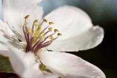 Όμορφα άσπρα λουλούδια κυδωνιών στο χρόνο άνοιξη Στοκ Εικόνες