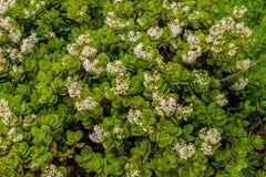 Όμορφα άσπρα λουλούδια με τα βεραμάν φύλλα που αυξάνονται στο νησί της Μαδέρας στην Πορτογαλία Στοκ εικόνες με δικαίωμα ελεύθερης χρήσης