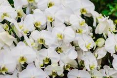 Όμορφα άσπρα λουλούδια ορχιδεών κλάδων Orchidaceae, Phalaenops Στοκ φωτογραφίες με δικαίωμα ελεύθερης χρήσης